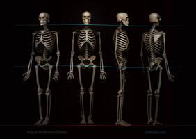 Skeleton study by VertexBee
