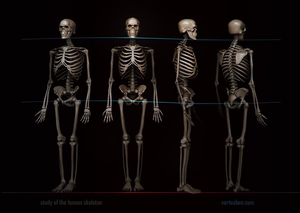 human skeleton reference, Skeleton