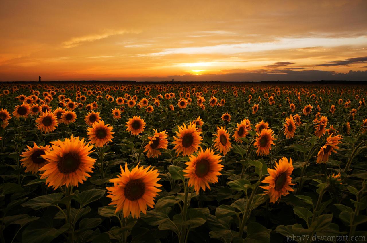 Sun flower power II by John77