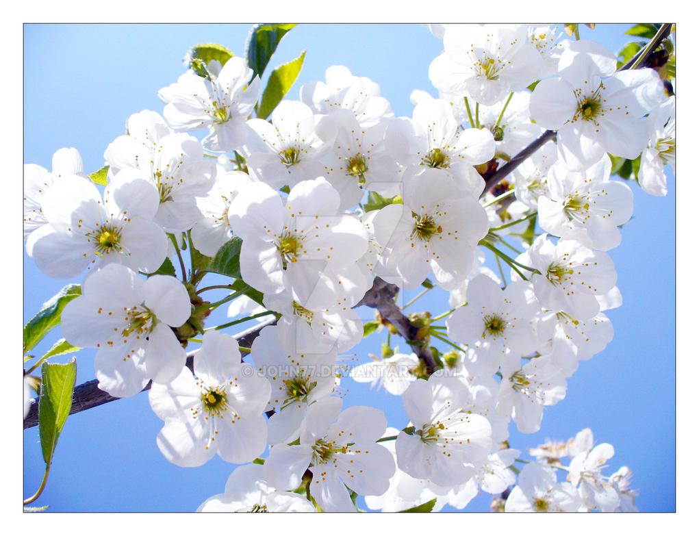Cherry Flowers by John77