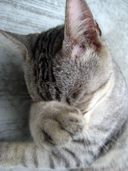 Image Gallery Facepalm Kitty