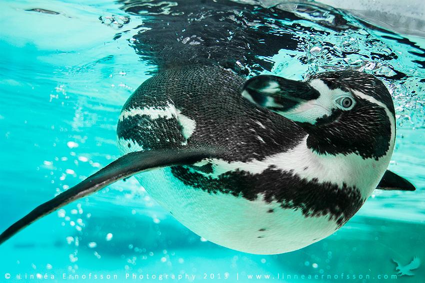 Penguin by linneaphoto