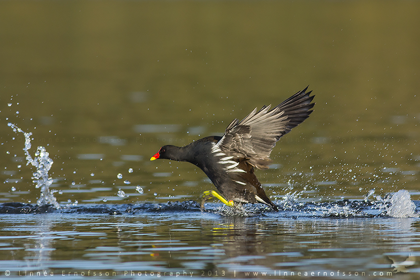 Common Moorhen by linneaphoto