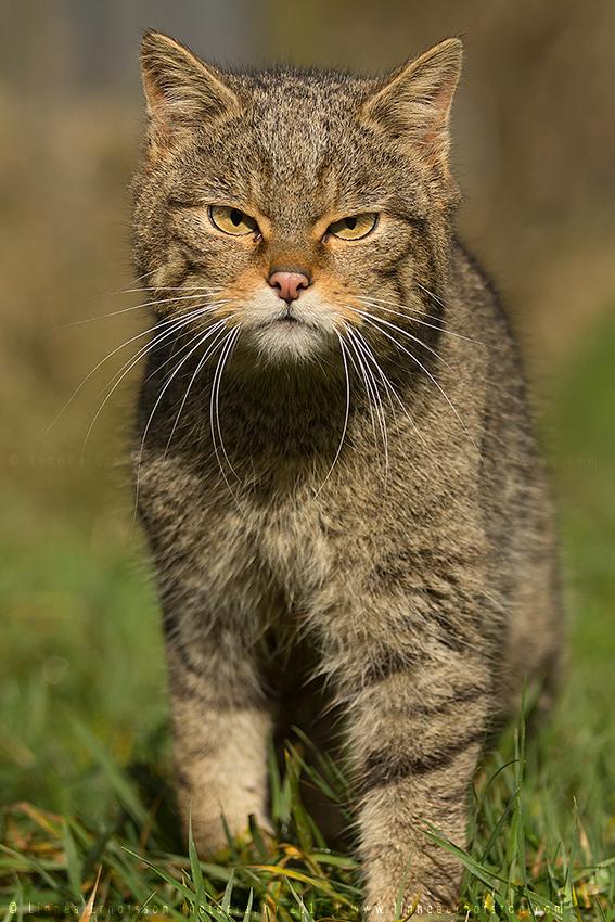 Wildcat by linneaphoto