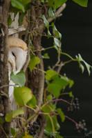 Barn Owl by linneaphoto