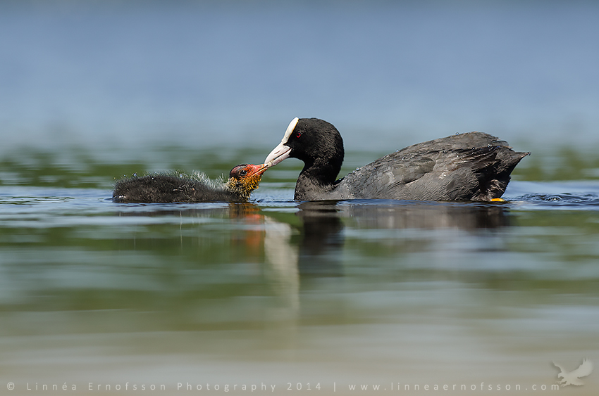 Coot feeding its young by linneaphoto