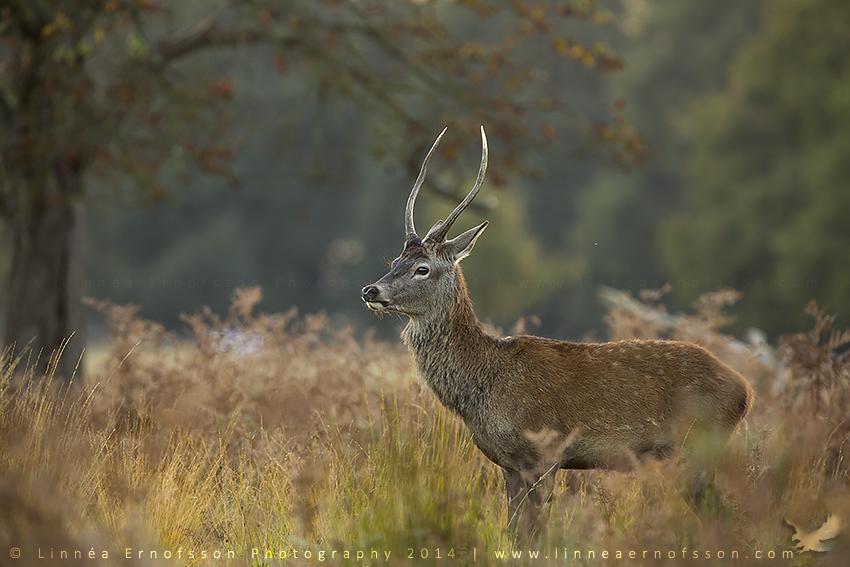 Red Deer by linneaphoto