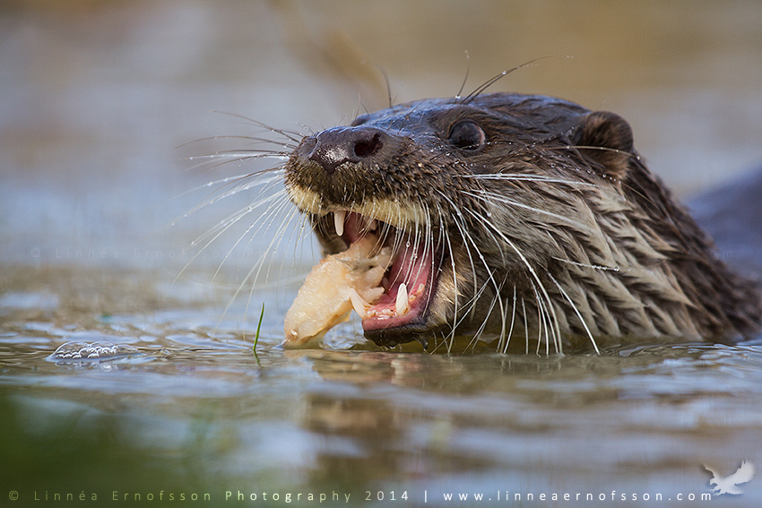 Hungry Otter by linneaphoto
