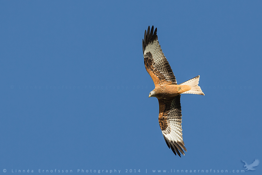 Red Kite by linneaphoto