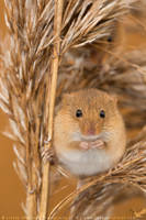 Harvest Mouse by linneaphoto