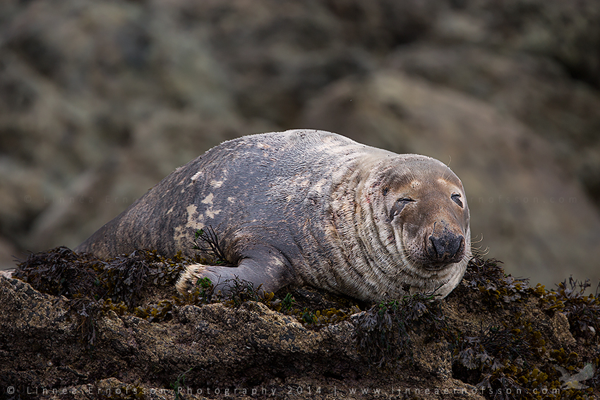 Grey Seal by linneaphoto