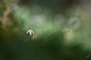 Lone Snowdrop by linneaphoto