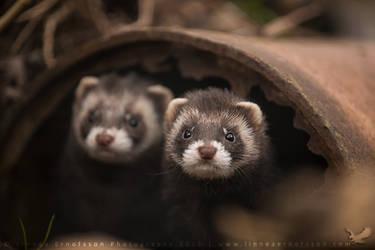Polecats by linneaphoto