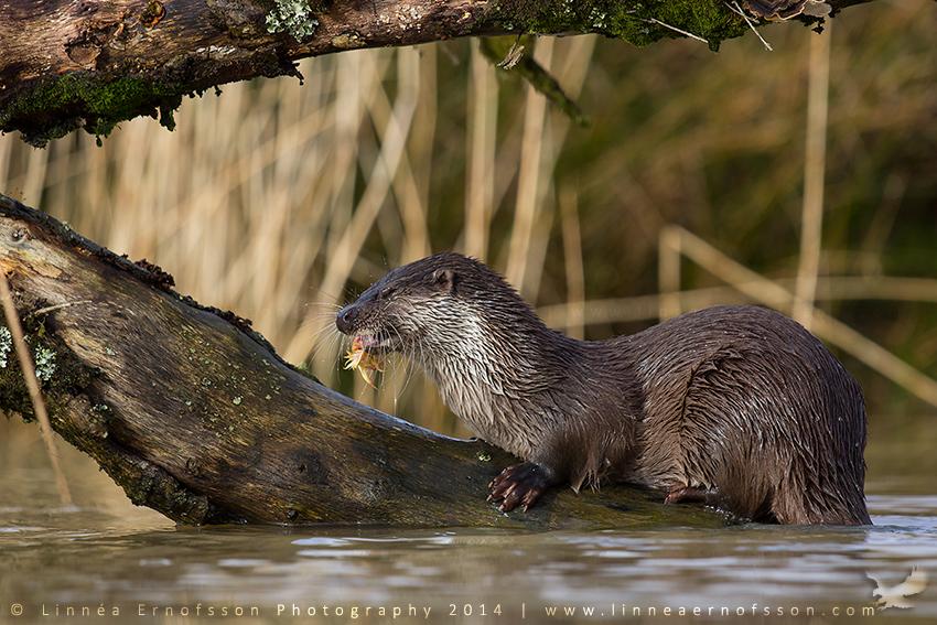 Otter by linneaphoto