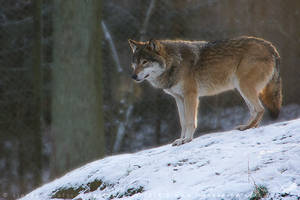 Early morning wolf by linneaphoto