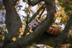 Red Panda by linneaphoto