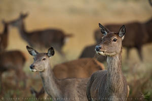 Red Deer by linneaphoto