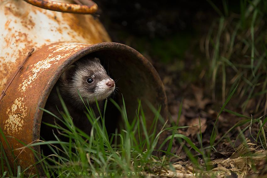 Polecat by linneaphoto