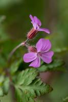 Geranium robertianum by linneaphoto