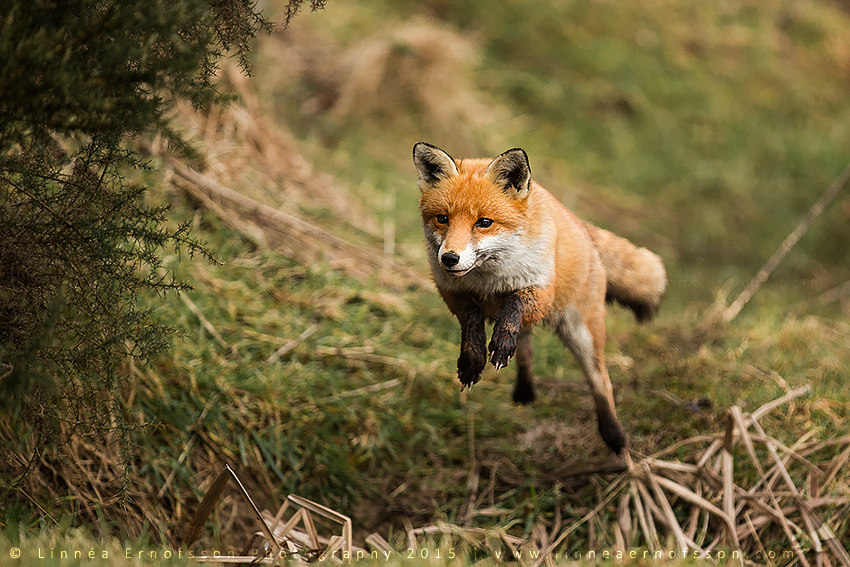 Jumping Fox by linneaphoto