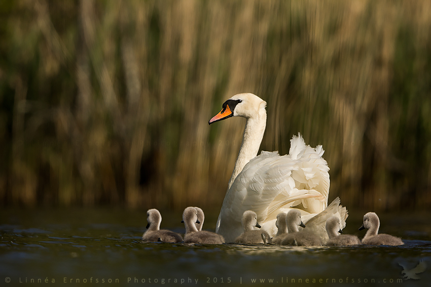 Mother swan with cygnets by linneaphoto