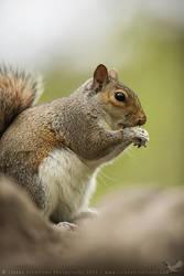 Grey Squirrel by linneaphoto