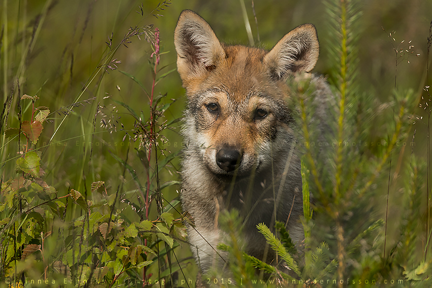 Wolf Cub by linneaphoto