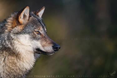 Wolf by linneaphoto