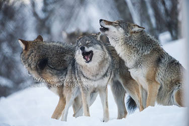 Happy Singing Wolves by linneaphoto