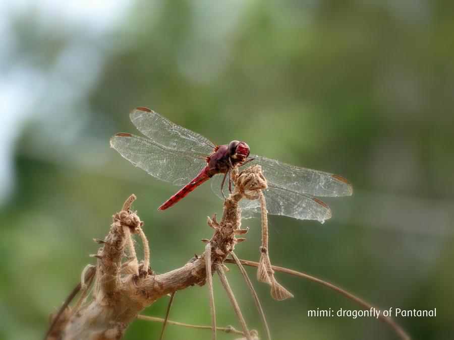 pantanal's dragonfly by michelesato