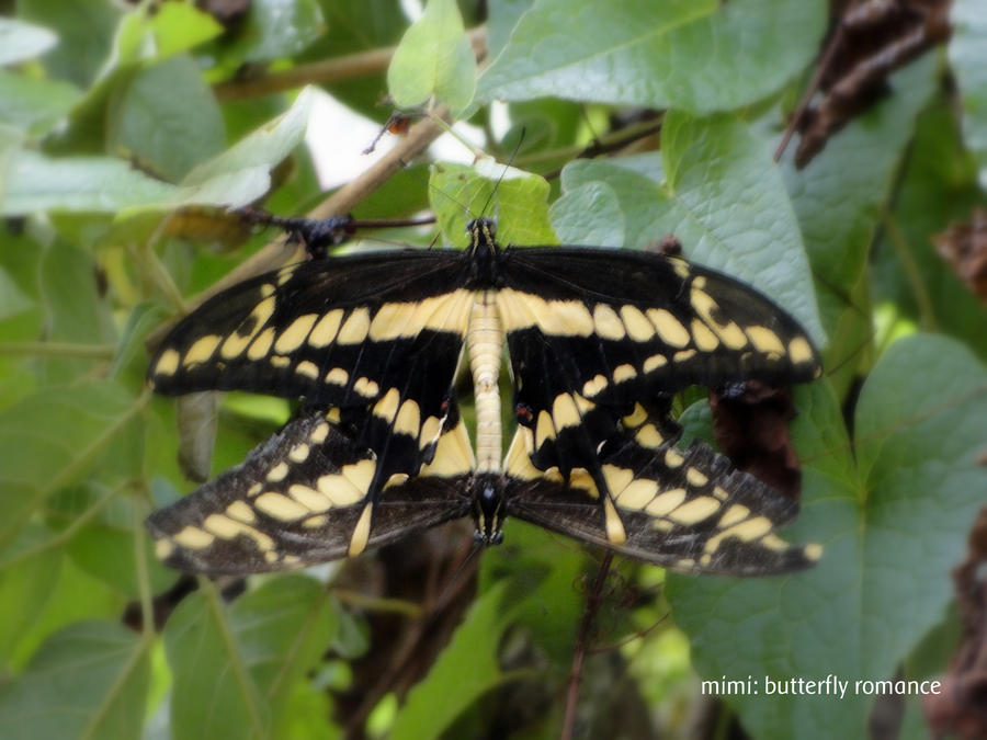 butterfly's romance by michelesato