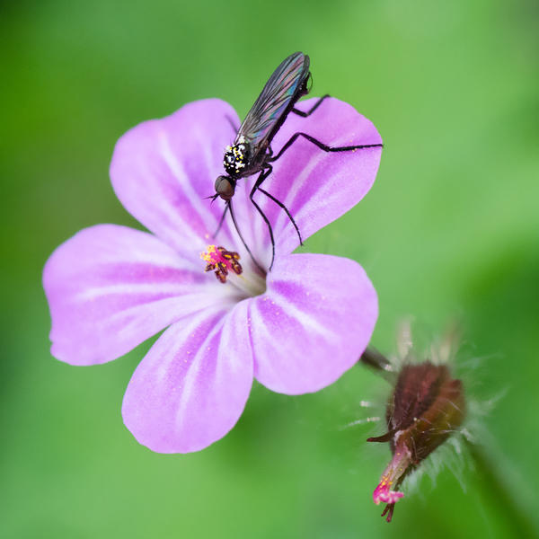Herb Robert by Aurelien-Minozzi