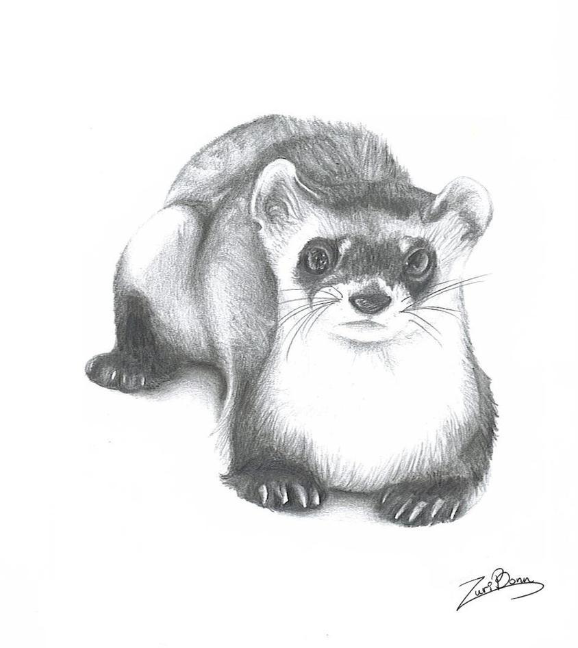 Ferret By Wolfeiz On Deviantart