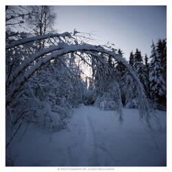 Crooked birch by jadvice