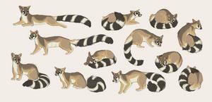 ringtailed cat pose sheet