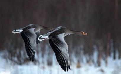 Greylag geese by IstvanIV