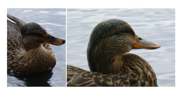 Duck II by Etrin