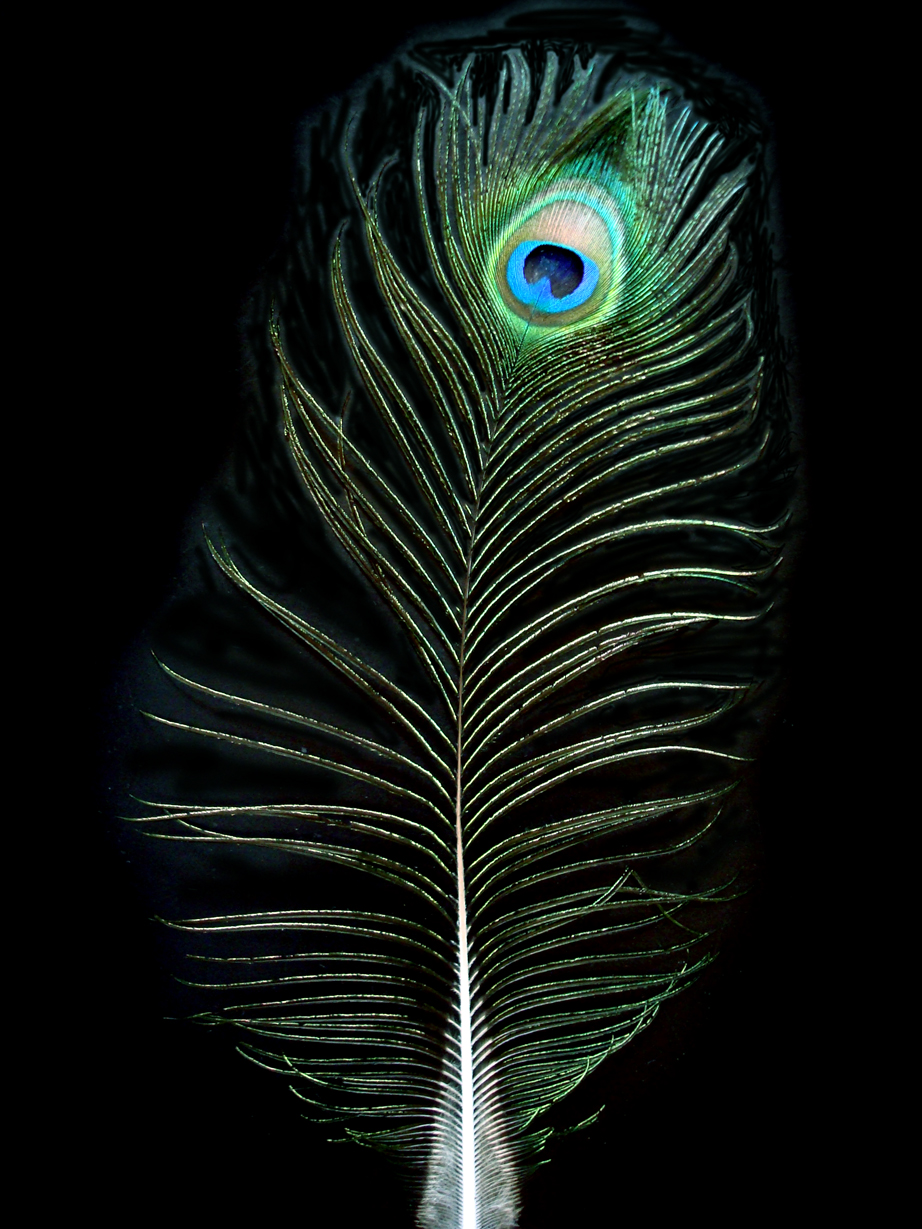 Peacock Feather By Sackrilige