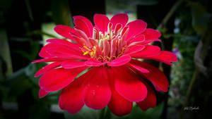 Beautiful red flower....... by gintautegitte69