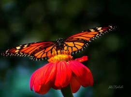 Butterfly.. .. .. .. by gintautegitte69