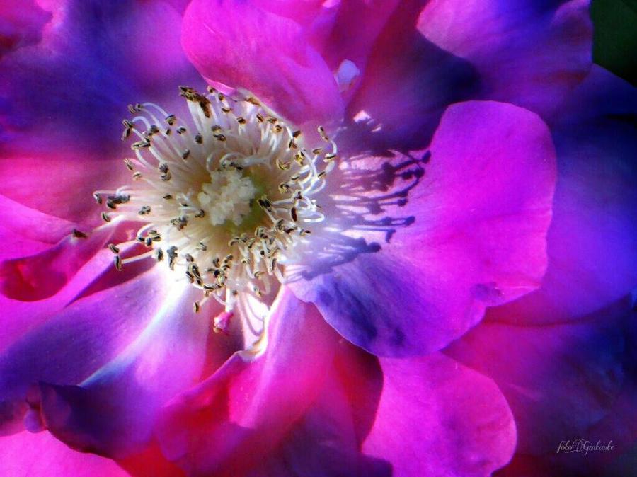 Rose by gintautegitte69