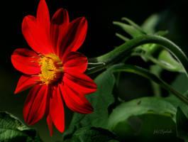 Red flower by gintautegitte69