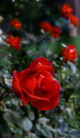 Red rose..........
