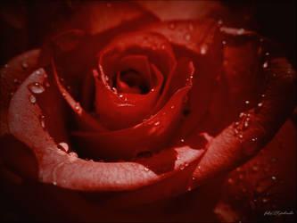 My Valentine's rose by gintautegitte69