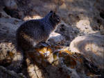 Squirrel......Grand Canyons......