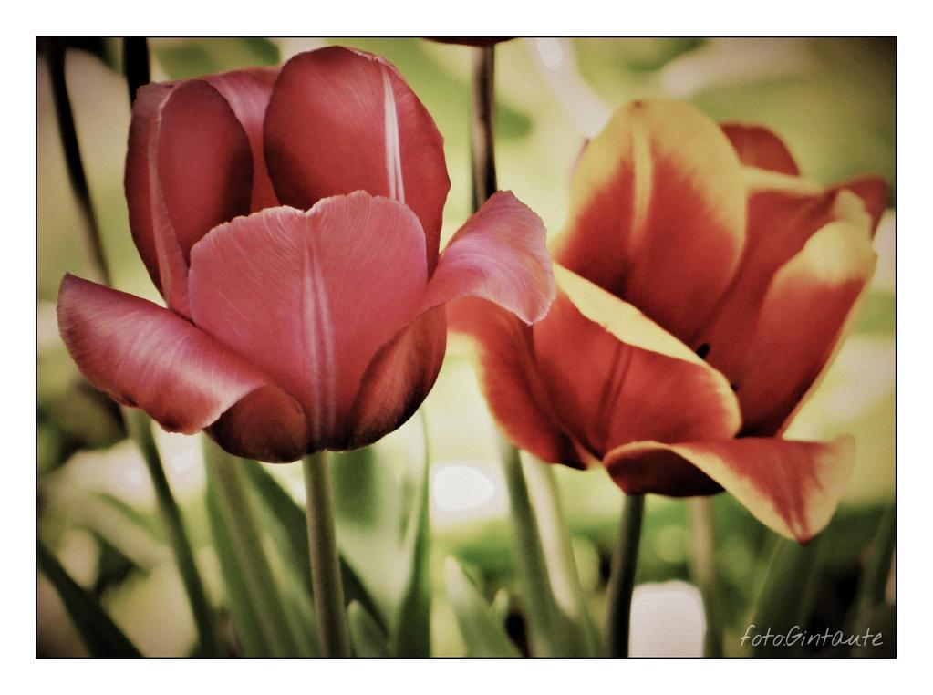 Tulips..............32 by gintautegitte69