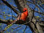 Cardinal.......Spring....21