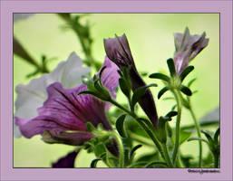 Summer flowers..51.... by gintautegitte69