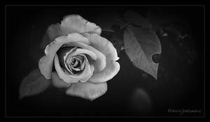 Rose. .b.w. by gintautegitte69