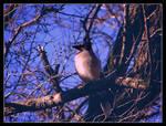 Blue Jay......3
